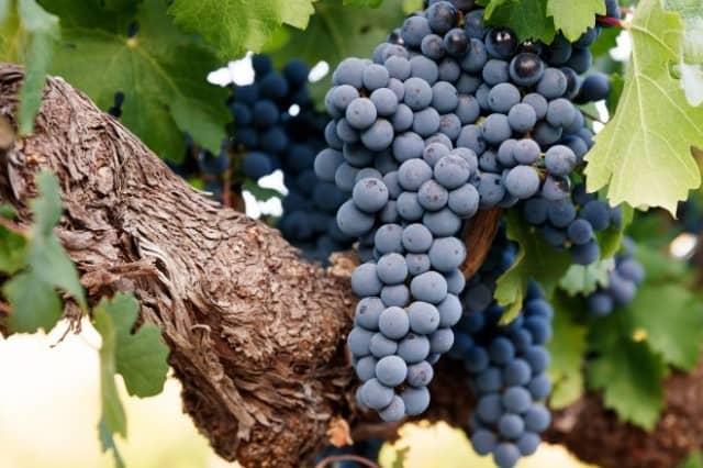 изобильная виноградная лоза